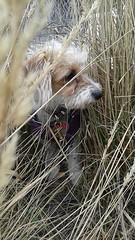 1798838_10154964949260697_7759709133385653850_n (mmmerlee) Tags: familydog nature alice myheart canada littledog
