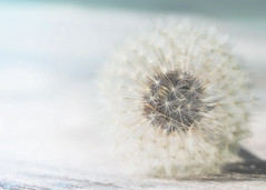 history of a dandelion - part 1 (rockinmonique) Tags: dandlion macro seed seedhead sparkle light bokeh blue white brown moniquew canon canont6s tamron copyright2017moniquew