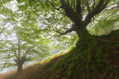 Raices (Alfredo.Ruiz) Tags: gorbea natural park belaustegui forest tree nature beech green landscape wood old root environment trunk leaf roots season foliage moss beautiful summer deciduous ground plant growth branch leaves ancient spain