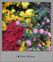 Chrysanthemum 18 (M.J.Woerner) Tags: november fallmums asteraceae chrysanths autumcolors postermums chrysanthemum autumflower