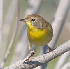 Common Yellowthroat (tresed47) Tags: 2017 201709sep 20170915bombayhookbirds birds bombayhook canon7d content delaware folder peterscamera petersphotos places season september summer takenby us warbler ngc npc