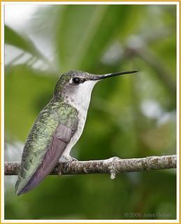 Colibri à gorge rubis (F) - Ruby-throated Hummingbird (F)