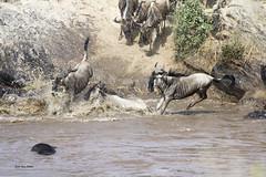 Migracao GNU - Travessia do Rio Mara 12 (Joao Pena Rebelo) Tags: tanzania gnus wildebeest migration safari serengeti wildebeests marariver