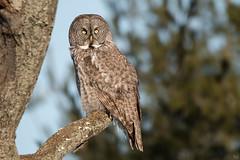 GG Owl (NicoleW0000) Tags: greatgrayowl phantomofthenorth strixnebulosa spruceowl beardedowl sootyowl owl hibou darkwoodowl wild wildlife photography eyecontact owleyes birdofprey grey