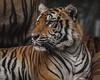 Roaring soul (Montasim Jawar) Tags: tiger canon forest portrait wildlife royalbengaltiger ngc