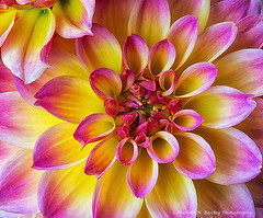 Pink and Yellow Dahlias (Michele Baxley) Tags: dahlias pink yellow flower macrophotography petals autumn summer starburst tipped edges multicolor sunburst michelenbaxley