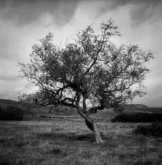 FILM - Rowan tree (fishyfish_arcade) Tags: 6x6 analogphotography ektar filmphotography filmisnotdead istillshootfilm kodak longstones peakdistrict tlr twinlensreflex yashicamat124g analogcamera film mediumformat