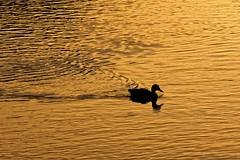 Duck on gold - Canard sur or (Sébastien Vermande) Tags: canon100d france midipyrénées lot été summer canard duck rivière river célé figeac goldenhour contrejour backlight nature wild sigma150exdg sigmaapoteleconverter14xexdg vermande coucherdesoleil sunset réflexion reflection