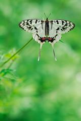 Male Dragon Swallowtail (mishko2007) Tags: sericinusmontela korea 105mmf28