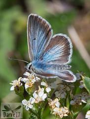 Aricia nicias (Meigen, 1830) ( BlezSP) Tags: aricia lycaenidae pirineos montaña ibérica licénido pseudoaricia nicias