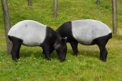 Malayan Tapir (Acrocodia indica) (Seventh Heaven Photography) Tags: malayan tapir acrocodiaindica acrocodia indica asian nikond3200 chester zoo cheshire england animal mammal herbivore herbivorous