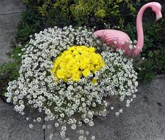 Sweet alyssum and hardy mum (honestabby) Tags: sweetalyssum mum flamingo