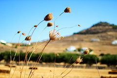 colors of nature (Katrinitsa) Tags: paros2017 paros greece greekislands island landscape nature fields field flowers flower wind sky colors blue yellow brown hill mountain cyclades aegean mediterranean canon canoneosrebelt3i canoneos600d ef35mmf14lusm bokeh focus zoom macro detail amazing awesome breathtaking magic magical beauty beautiful travelphotography travel summer art artistic nice perfect best imagination inspiration happy happiness joy trees architecture sunlight light daylight shadows sunshine