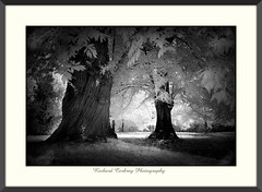 Contrast (Chalky666) Tags: tree trees wood woodland forest southdowns westsussex landscape art mono infrared