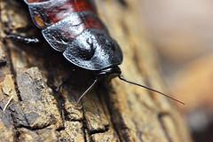 madagaskarski siktajući žohar (Gromphadorhina portentosa / Madagascar Giant Hissing Cockroach / Madagaskar-Fauchschabe) (Hrvoje Šašek) Tags: madagaskarskisiktajućižohar madagascargianthissingcockroach madagascarhissingcockroach madagaskarfauchschabe gromphadorhinaportentosa kukac insect člankonožac arthropod zoološkivrtgradazagreba zagrebzoo zoološkivrt zoologicalgarden životinja animal priroda nature park maksimir parkmaksimir perivoj portret portrait closeup hrvatska croatia croazia kroatien d810 zoo makro macro
