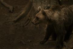 Urso-pardo/Ursus arctos - Selvagem-Florestas da Eslovénia (mariapinto87) Tags: urso amimais selvagens