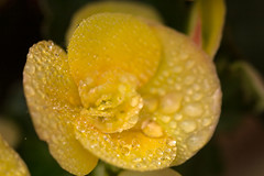 Begonia with Raindrops (San Francisco Gal) Tags: begonia raindrop water droplet flower fleur bloom blossom macro