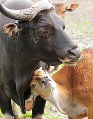 banteng Blijdorp BB2A4857 (j.a.kok) Tags: cow banteng asia azie india mammal zoogdier dier animal blijdorp herbivore