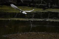 Flight of the great white! (JerryGoulet) Tags: egrettathula naturereserve bristish littlepaxton cambridgeshire wildlife flying birds outdoors animals