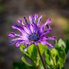 purple power flower (Pejasar) Tags: purple power bloom blossom nature garden estespark colorado