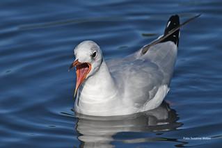 Müde Möwe - Gull