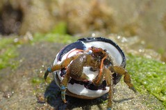 IMG_4212 (T. L. Allen, the Flyingtoolman) Tags: flyingtoolman crab crustacean hermitcrab leocarillostatepark malibu pacific socal ocean tidepool olympustg4 sealife tidal