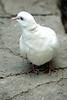DSC09861 - White Turtle Dove (archer10 (Dennis) 119M Views) Tags: ontario sony a6300 ilce6300 18200mm 1650mm mirrorless free freepicture archer10 dennis jarvis dennisgjarvis dennisjarvis iamcanadian novascotia canada whiteturtledove niagarafalls birdkingdom