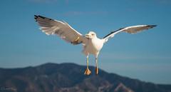 Gabbiano // Seagull (Christian Papagni | Photography) Tags: marseille provencealpescôtedazur francia fr gabbiano seagull uccello bird canon eos 7d mark ii ef100400mm f4556l is usm chips