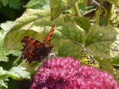 Comma (JuliaC2006) Tags: owletts kent sedum pink flowers comma butterfly garden polygoniacalbum
