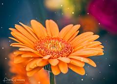 Creative Edit Of An Orange Gerbera (Peter Greenway) Tags: orangegerbera fleur flora colourful bloom wisley flickr gerbera rhswisleygardens floral macro flowers wisleygardens color flower blooming