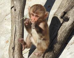 Macaco-do-Japão (Macaca fuscata) (Marina CRibeiro) Tags: portugal lisboa lisbon zoo primata primate macacodojapão macacafuscata japanesemacaque
