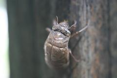 Cicada Seam (FilmandFocusPhoto) Tags: canon sigma 50mm macro macrophotography macrophotographer macrophotographers macrounlimited outdoors outdoor nature natural naturallight availablelight photoshopfree noprocessing untouched unedited sunlight cicada bug insect shell exoskeleton molt molting wood