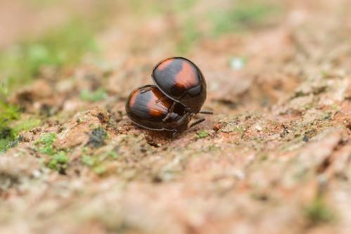 Tenebrionidae. Leiochrinus sp.