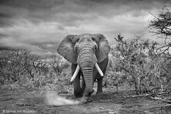 Adrenaline (hvhe1) Tags: wildlife nature wild animal mammal elephant loxodontaafricana elefant southafrica africa zimanga privategamereserve hvhe1 hennievanheerden bull male adrenaline safari black white bw charge attack