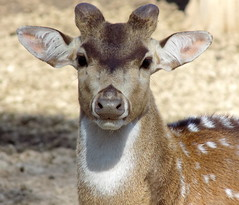 Venado Axis (GusMonkeyVaz) Tags: natur naturaleza nature foto fauna animal animalplanet planet venado axis tierra