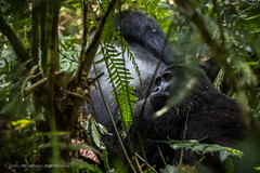 Female gorilla from Nkuringo family leanning against Alpha male (Catherine Gidzinska and Simon Gidzinski/grainconno) Tags: 2017 africa bufumbira bwindi bwindiimpenetrableforest bwindiimpenetrablenationalpark eastafrica impenetrableforest june nkuringo nkuringogorillafamily uganda westernregion ape closeup gorilla gorillatrekking jungle monkey trekking