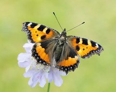 Small Tortoiseshell Aglais urticae (Iain Leach) Tags: birdphotography wildlifephotography photograph image wildlife nature iainhleach wwwiainleachphotographycom canon canoncameras photography canon1dx canon5dmk3 beauty beautiful beautyinnature macro macrophotography closeup butterfly moth lepidoptera insect invertebrate outdoors conservation smalltortoiseshell aglaisurticae