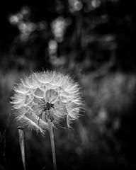 dandelion (K_R_R_2) Tags: sony a6000 nex sel50f18 flowers bw dof bokeh dandelion