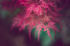Japanese Maple (rickmcnelly) Tags: rollei carl zeiss planar 50mm18 gx8 plant fade rolleicarlzeissplanar50mm18