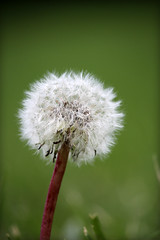 Dandelion (The Life of a Camera) Tags: nature dandelion green white wish seed blow bokeh