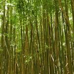 Bamboo Forest, Haleakalā National Park thumbnail