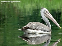 Spot-billed Pelican (Pelecanus philippensis) (vlupadya) Tags: greatnature aves fauna indianbirds spotbilled pelican pelecanus mysore karnataka