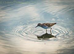 Seeking (13skies) Tags: bird reflection hamiltonon seeking looking food find waterfront sonya99 puddle drinking sandpiper wet