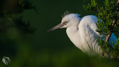 Little Blue Heron | 2017 - 6 (RGL_Photography) Tags: birding birds birdwatching capemaycounty egrettacaerulea fledgling gardenstate heron immature jerseyshore littleblueheron mothernature nature newjersey oceancity ornithology rookery us unitedstates wildlife wildlifephotography greateggharborbay littlefingerchannel staintonmemorialcauseway wadingbirds nikond610 nikonafs200500mmf56eedvr