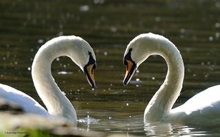 Cygne tuberculé / Mute Swan