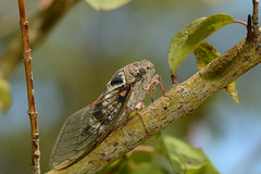 European Cicada - Cicada orni (willjatkins) Tags: insect insects insectsoffrance insectsofthedordogne dordognewildlife dordogne dordogneinsects cicada cicadaorni wildlife wildlifeoffrance wildlifeofthedordogne cicadas europeancicada closeupwildlife closeup macro macrowildlife nikond7100 sigma105mm frenchinsects frenchinvertebrates