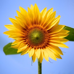 Sunflower (-SOLO--) Tags: 7dwf sos yellow sky smileonsaturday sunnyyellow