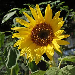 Sunflower - Girasole - Sonnenblume