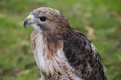 Red-tailed Hawk (Buteo jamaicensis) (Seventh Heaven Photography) Tags: redtailed hawk buteojamaicensis buteo jamaicensis bird animal 130th shrewsbury flower show shropshire falconry nikond3200 chrisneal chrisnealfalconry