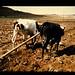 Crossbred In Ethiopia = エチオピアにおける雑種牛